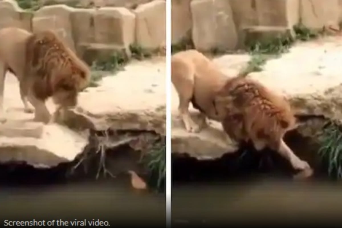 Video Viral: A duckling struggling in the canal ... a lion who helped ..!