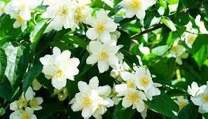 Good Sleep: Helps Jasmine flowers