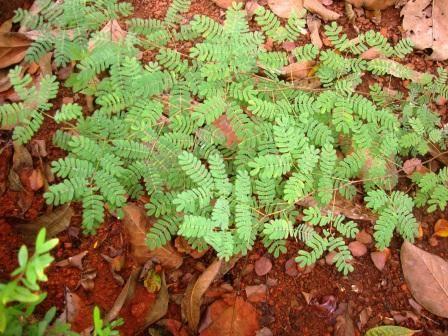 Shammi Plant: Vasthu and Health Benifits