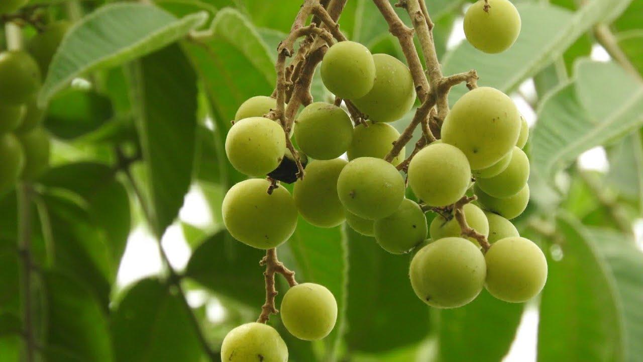 Amazing Health benefits of Garuga Kayalu: